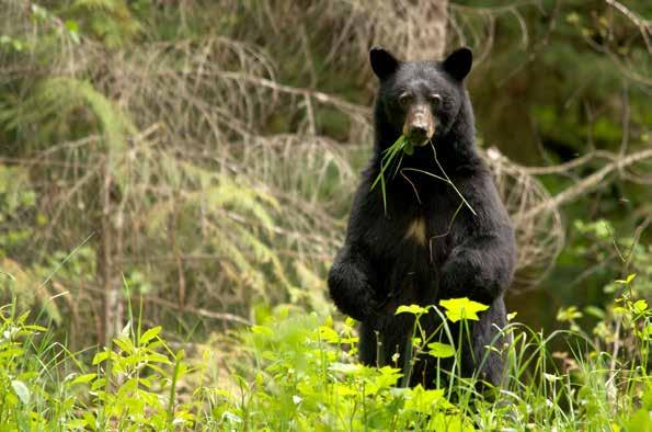 A nice BLACK BEAR stepped out of the woods munching huckleberries. It was not within range of my hopped up,.25-06 Ruger rife. I quietly contacted Chuck and whispered into the radio, BEAR!