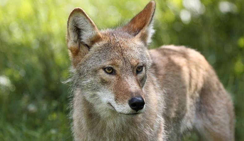 Spring is here, so look out for coyotes Spring has arrived, which means residents across Southern California are starting to see more animals, including coyotes and snakes, in their neighborhoods and