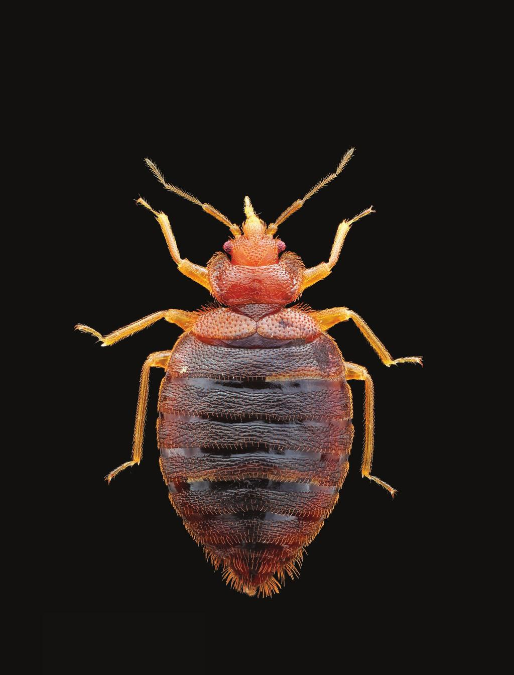 Getting Intimately Acquainted with the Common Bed Bug With the resurgence of bed bugs, people around the world are getting more familiar with the creatures than they d like.
